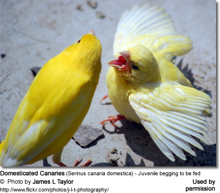Domesticated Canaries - Adult feeding juvenile