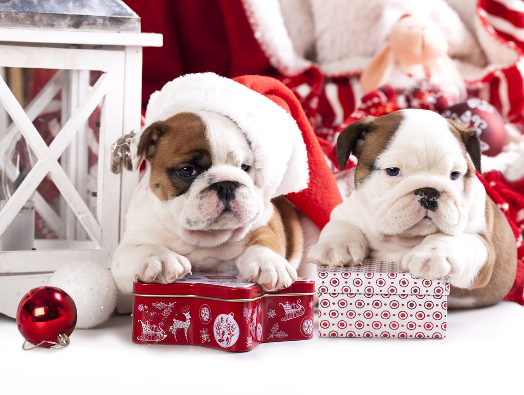 Holiday Canine Questions